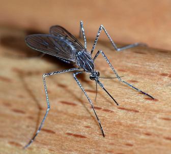 Alvesgaspar Mosquito Picture