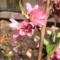 Natale Bee on Peach Tree Photo 5-22-16