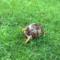 Eastern Box Turtle Front Eileen Socci 6-5-16