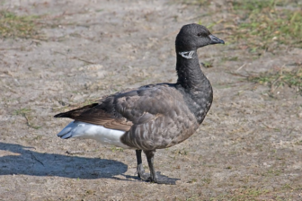Brant goose Wikimedia Commons 911-29-16 photo Andreas Trepte, www.photo-natur.net  https://commons.wikimedia.org/wiki/File:Brent_Goose.jpg