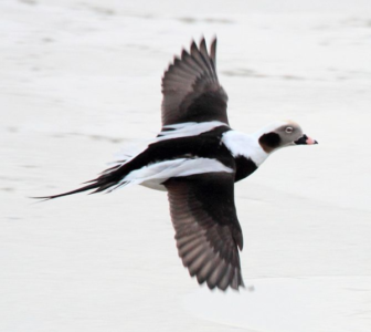 Long-tailed duck Wikimedia Commons 911-29-16 https://commons.wikimedia.org/wiki/File:Long-tailed_Duck_(Clangula_hyemalis).jpg