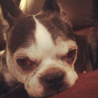 Skyy Boston terrier lost 911-30-16