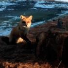 Rosemary DeClue photo leghold trap fox New Canaan 01-09-16