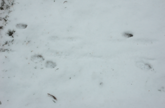 Coyote tracks New Canaanite 01-09-16