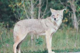 Darien Cops Website Coyote