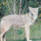 Darien Cops Website Coyote