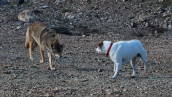 Coyote Wikimedia Commons 03-23-17 https://commons.wikimedia.org/wiki/File:Coyote_vs_Dog.jpg