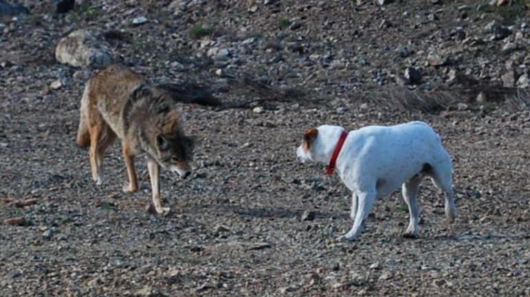 Coyote Wikimedia Commons 03-23-17 https://commons.wikimedia.org/wiki/File:Coyote_vs_Dog.jpg
