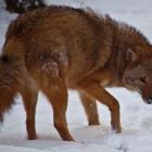 Eastern Coyote 03-23-17 via Wikimedia Commons https://commons.wikimedia.org/wiki/File:Coyote-face-snow_-_Virginia_-_ForestWander.jpg