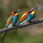 Merops aplaster Wikimedia 04-01-17 https://commons.wikimedia.org/wiki/File:Pair_of_Merops_apiaster_feeding_detail.jpg