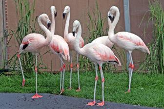 Flamingo A 05-17