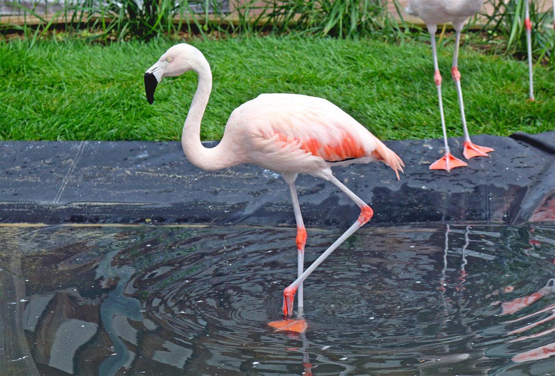 Flamingo C 05-17