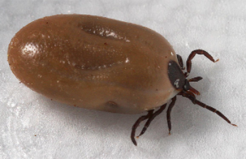 Engorged adult deer tick 05-05-17 https://www.nih.gov/news-events/news-releases/tick-genome-reveals-secrets-successful-bloodsucker