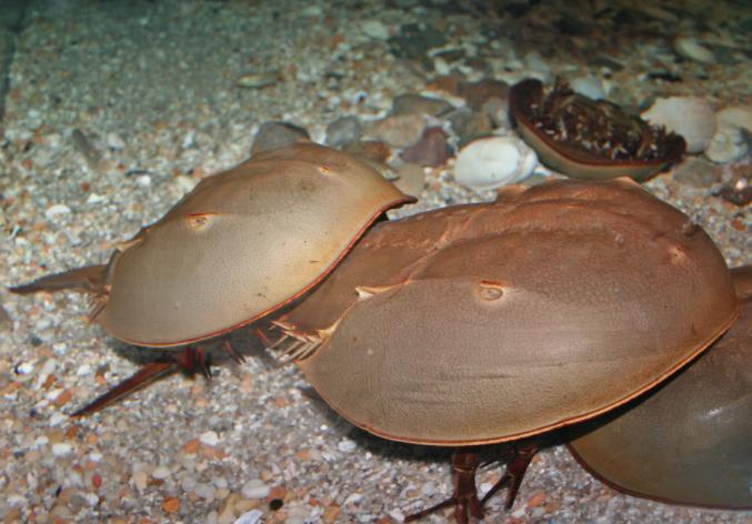 Horseshoe Crabs Mating Beach Maritime Aquarium 05-13-17