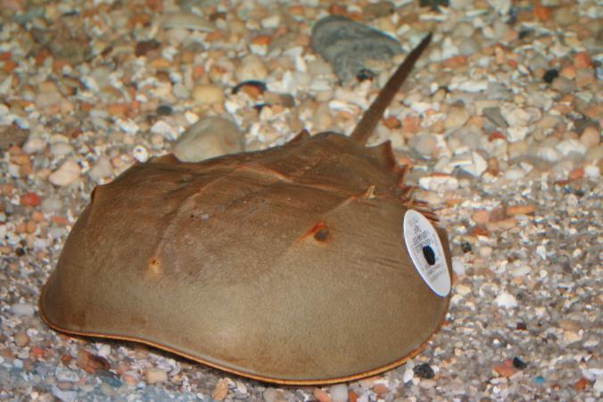 Horseshoe Crab Tagged Maritime Aquarium 05-13-17