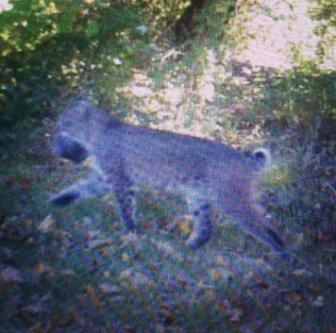 Bobcat Sightings New Canaan 11-29-17
