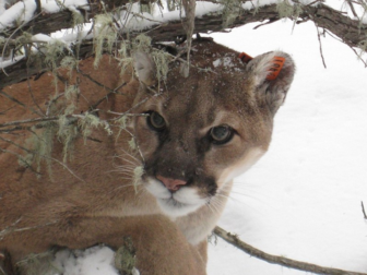 Mountain Lion via Wikimedia Commons via Flickr https://commons.wikimedia.org/wiki/File:Radio-collared_Mountain_Lion.jpg