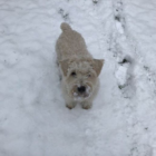 Maxie lost Wheaten Terrier