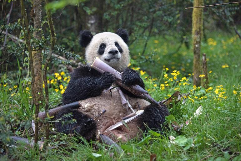 IMAX movie Pandas scene