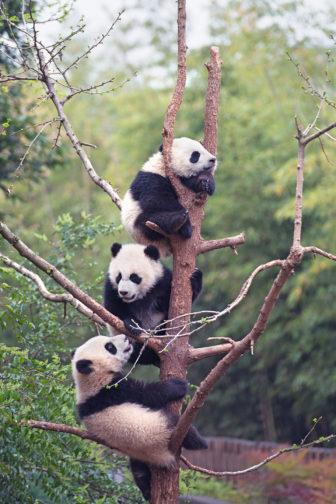 Pandas IMAX movie