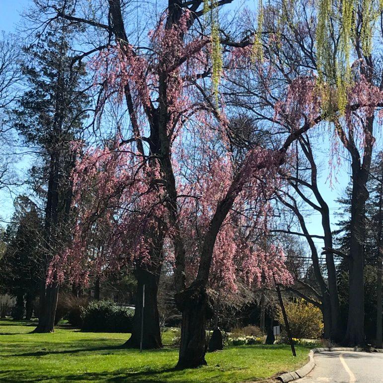 Tree blossoming Darien park Diane Farrell