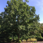 Bartlett Arboretum champion tree tour