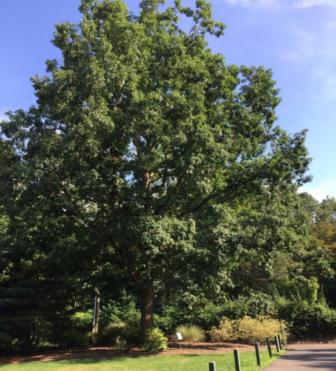 Bartlett Arboretum champion tree tour