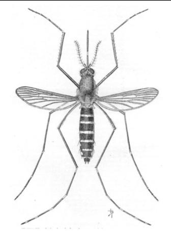 US Govt drawing black salt marsh mosquito