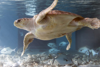 Loggerhead Sea Turtle Long Island Sound