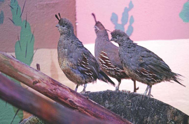 Gambel's quail Maritime Aquarium