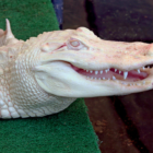 Albino Alligator Maritime Aquarium