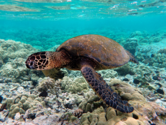 Green Sea Turtle photo by Brocken Inaglory on Wikimedia Commons https://commons.wikimedia.org/wiki/File:Green_turtle_swimming_over_coral_reefs_in_Kona.jpg