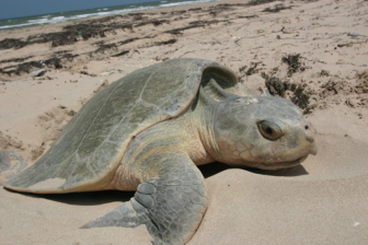 Kemp's ridley sea turtle nesting National Park Service photo https://commons.wikimedia.org/wiki/File:Kemp%27s_Ridley_sea_turtle_nesting.JPG