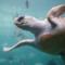 Loggerhead turtle by Ukanda on Flickr via Wik Commons https://commons.wikimedia.org/wiki/File:Loggerhead_sea_turtle.jpg