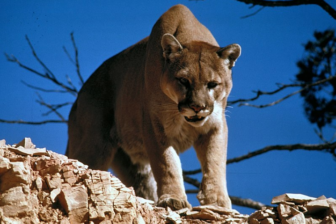 Cougar Mountain Lion New Canaan