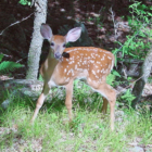 An image of a fawn deer (Odocoileus species) cropped down to put more focus on the fawn itself. This version: minor (levels) edit of orig pic by Elfer https://commons.wikimedia.org/wiki/File:Fawn_in_Forest_edit.jpg