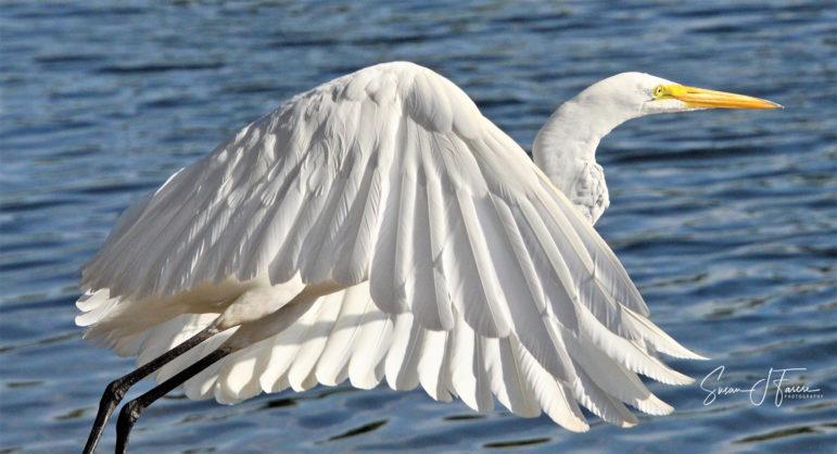 """Egret"" by Susan Farese"
