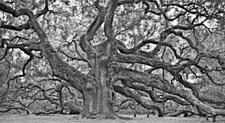 """""""Angel Oak"""" by Steven Liveoak"""