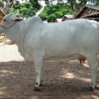 Jose Reynaldo da Fonseca pic of a cow Wikimedia https://commons.wikimedia.org/wiki/File:Brahan_(Carmel)_EMAPA_100307_0.JPG