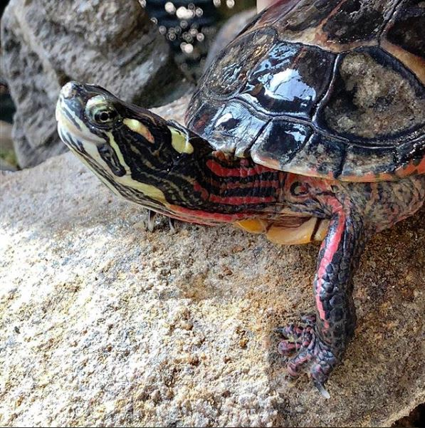 Speedy the Eastern Painted Turtle
