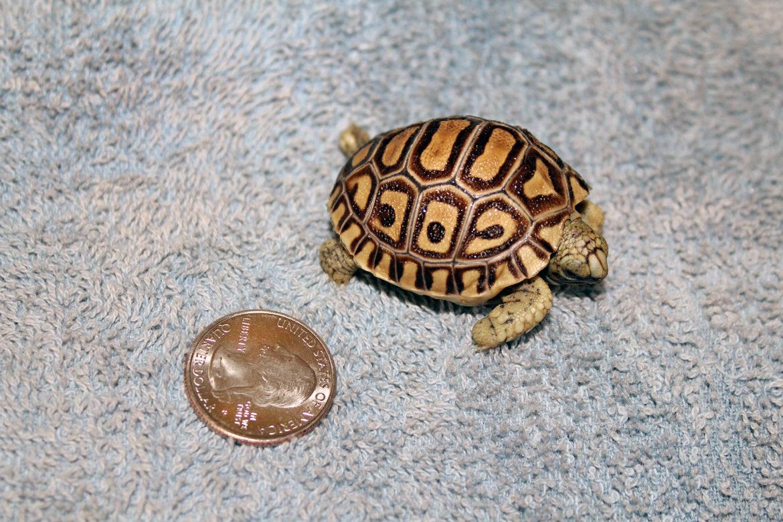 Tiny leopard tortoise newborn