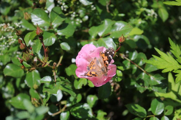 Monarch butterfly Darien pollinator path