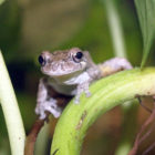 Gray Tree Frog Frog Watch Maritime Aquarium 2019