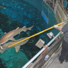 Sandi Schaefer-Padgett feeds sand tiger sharks