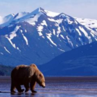 Bear Alaska AAA Northeast Holland America