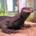 Asian Water Monitor Lizard at Maritime Aquarium Black Dragon