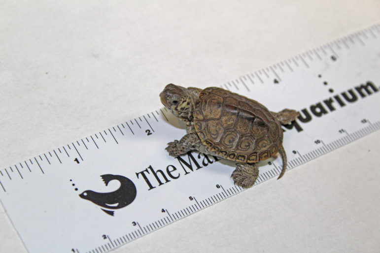 Hatchling Turtle