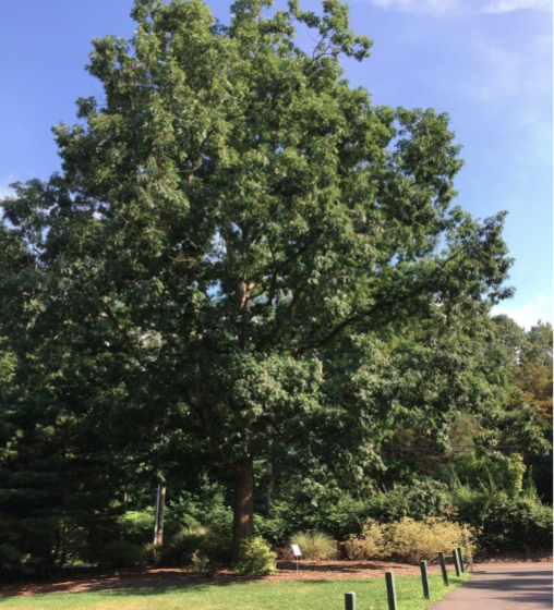 Champion and Notable Trees Tour Bartlett Arboretum 2019