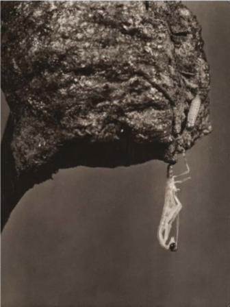 Margaret Bourke-White, Study of Insects Hanging from Cocoon, 1935