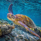 Great Barrier Reef green sea turtle IMAX aquarium 2019